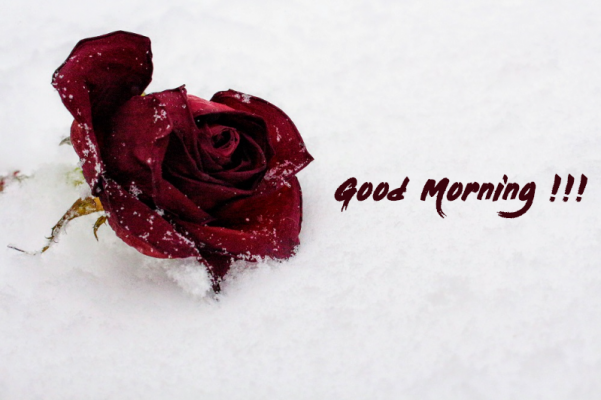 good morning love with rose